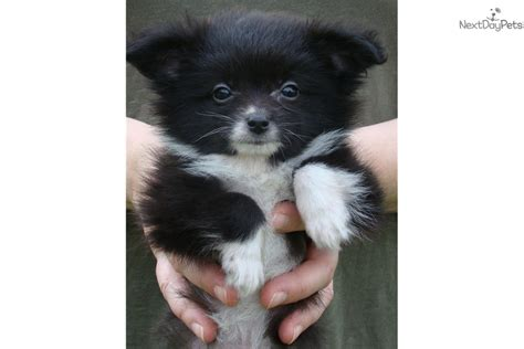 pomeranian australian shepherd mix for sale pomeranian puppy for sale near chicago illinois b5d21e0f bcd1