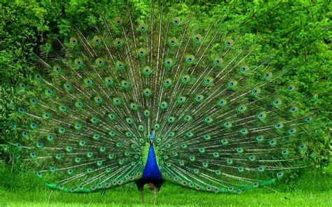 peacock wallpapers peacock wallpaper home 2017 grasscloth wallpaper