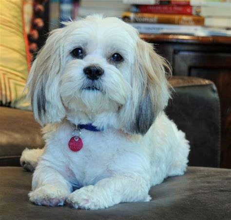 havanese potty problems 125 best images about lhasa apso on smelly its cold and havanese puppies