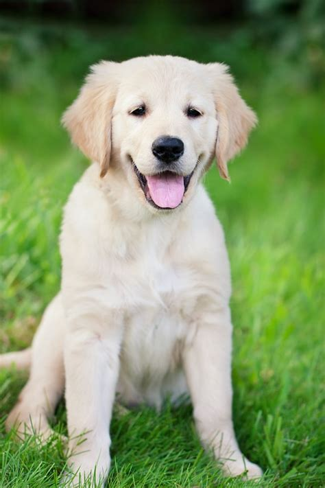 what were golden retrievers originally bred for 10 great facts about golden retrievers petairuk