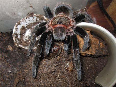 Tarantula B Vagans tarantula