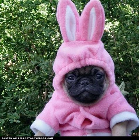 pictures of pugs in costumes pug pictures 31 pics