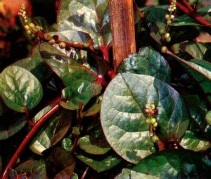 tanaman binahong obat buang air besar berdarah tanaman