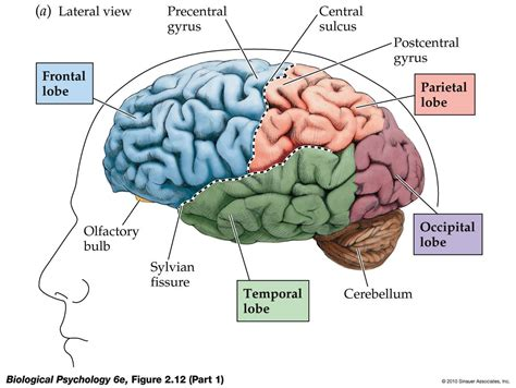 Four Sections Of The Brain by After Being A Student Mission To Learn The Brain