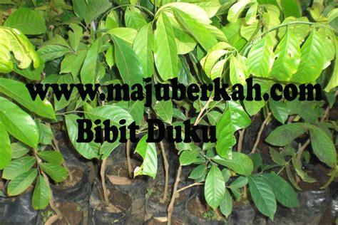 Bibit Pohon Petai Berkualitas bibit duku bibit tanaman duku jual bibit tanaman duku