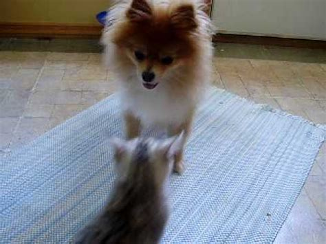 pomeranian attack f2 kitten attacks pomeranian 1