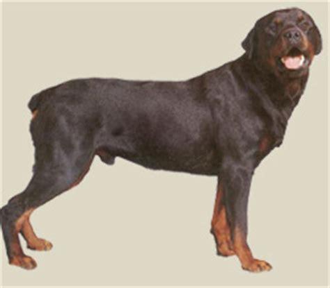 rottweiler colors mahogany rottweiler