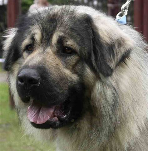 sarplaninac puppy meet the sarplaninac learn about its puppies and more