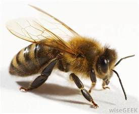 what is a queen bee with pictures