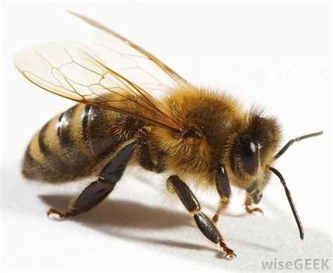 a bee puppies what do i do if my is stung by a bee with pictures