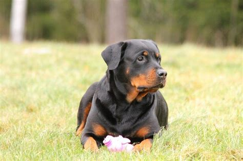 best food for rottweilers puppies best foods for rottweilers