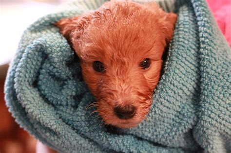goldendoodle puppy nyc goldendoodle puppy for sale brown collar boy quot rhythm
