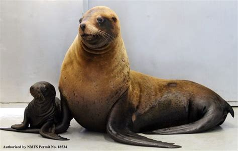 stellar sea lion pup  parents woody  eden zooborns