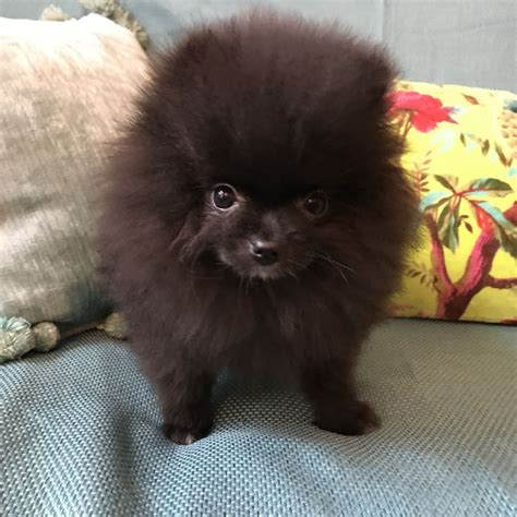 teddy pomeranian black black teddy pomeranian worthing west sussex pets4homes