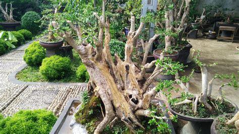 rumah minimalis  lantai  tanaman hias  bonsai