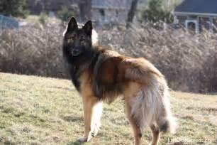 belgian shepherd dog malinois for sale beaumont belgian tervuren dog breeds