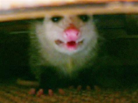 Possum Backyard by Diy Possum Trap Controlling Backyard Possums