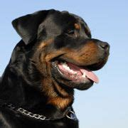 how to take care of rottweiler 1000 ideas about german rottweiler on rottweiler puppies rottweilers and