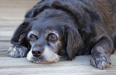 brain tumor in dogs brain tumors in dogs