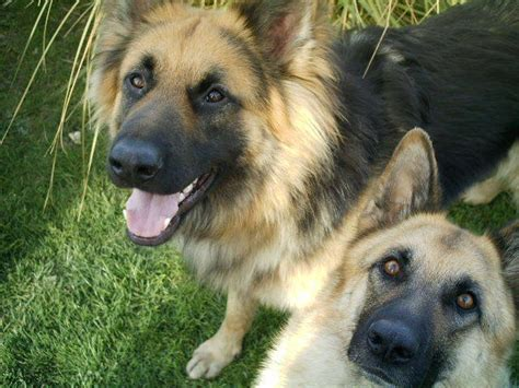 free german shepherd puppies for adoption free german shepherd dogs puppies for sale breeds picture