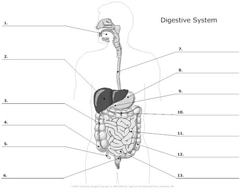 blank digestive system diagram 15 best images of printable respiratory system worksheet