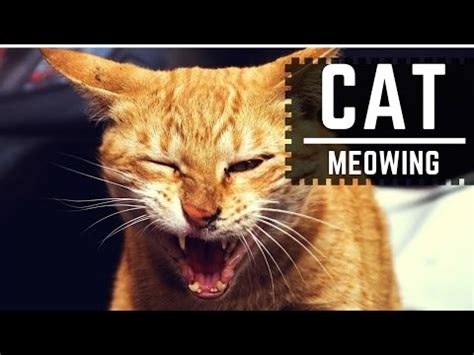 sounds that make dogs go 10 cats meowing make your cat or go hd sou doovi