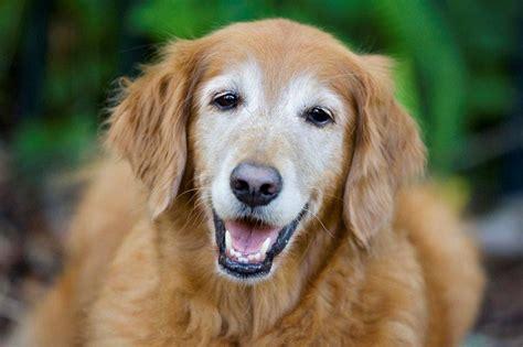 beautiful senior  rockys retreat canine health fitness