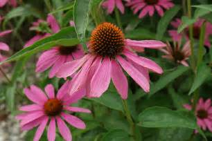 Flowering Shrubs Zone - echinacea purpurea