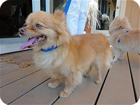dachshund pomeranian mix puppies for sale golden weiner dogs for adoption breeds picture