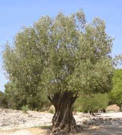 olive tree the voice of one crying out in suburbia god s covenant