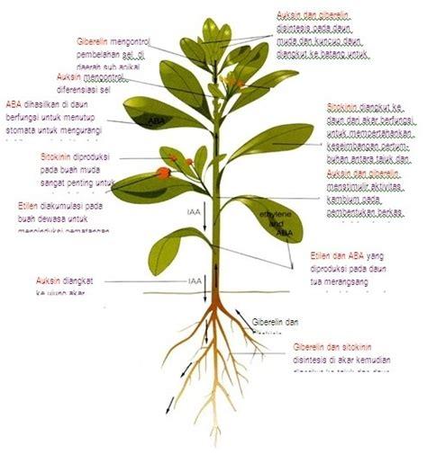 Hormon Zpt Giberelin kultur jaringan tanaman zat pengatur tumbuh zpt