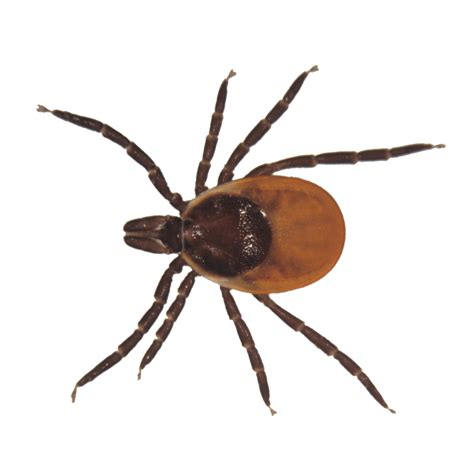 tick images 15 things you must about ticks health