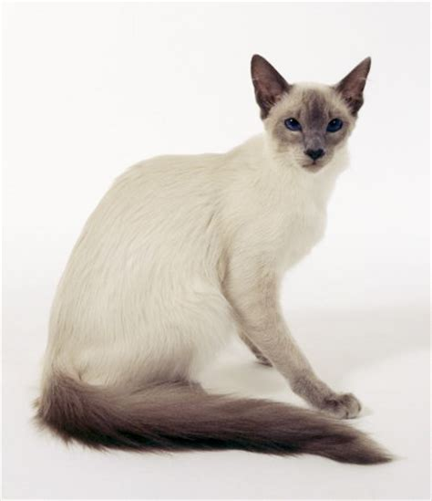 The Balinese index of gallery balinese cat