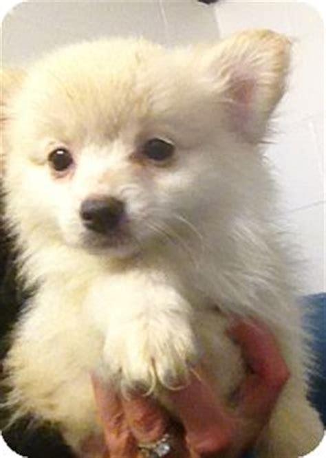 pomeranian chihuahua mix size mopsy adopted puppy richmond va pomeranian chihuahua mix