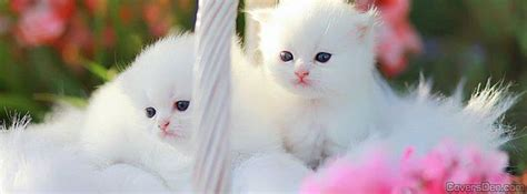 cat wallpaper facebook cute cats facebook cover coversden