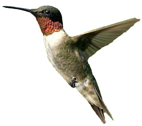 male humming bird png by doloresminette on deviantart