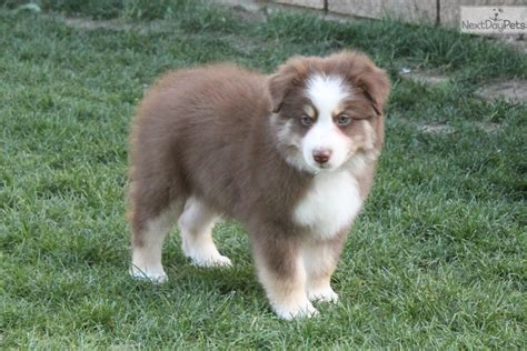 australian shepherd puppies for sale in nc australian shepherd puppy for sale in fayetteville breeds breeds picture