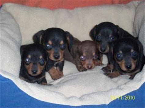 dachshund puppies for sale in arkansas miniature dachshund for sale in arkansas dogs in our photo