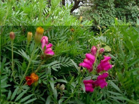 Garden Flowers Of India Flower Gardens Of Nainital In July Kumaon Himalaya Photo Journal