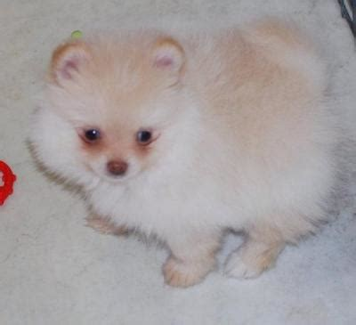 snow white pomeranian puppies sale snow white teacup pomeranian puppies for sale canada free classifieds muamat