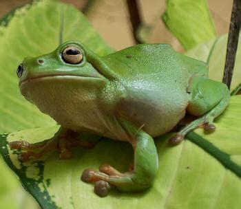 how did a frog get in my bathroom green tree frog katherine northern territory australia
