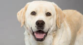 american color labs labrador retriever breed information american kennel