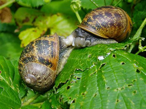 Snails In Garden by Garden Snails Invertebrate