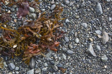 seaweed gravel sitka photos for 1 october 2007 nature walk to totem park