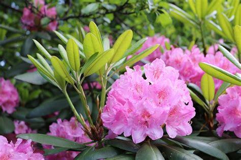fiore rododendro rododendro piante da giardino coltivare rododendro