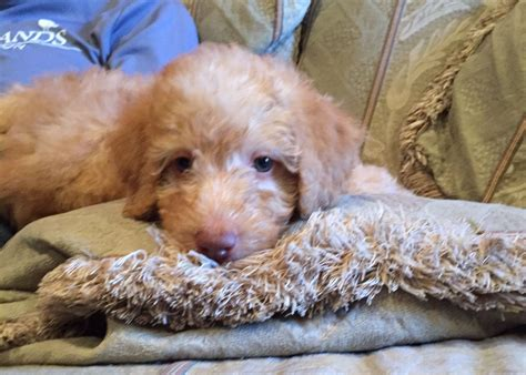 doodle puppy rescue adopt a doodle or moyen poodleadopt a doodle or moyen