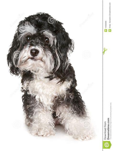 imagenes a blanco y negro de perros perro malt 233 s blanco y negro imagen de archivo libre de