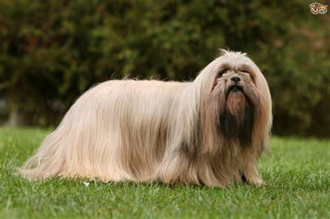 Lhasa Apso Dog Breed Information, Buying Advice, Photos