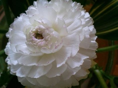 fiore bianco fiore bianco foto immagini piante fiori e funghi