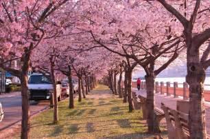 Japanese Blossom Tree lotus flower cherry blossoms